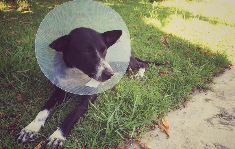 Svart hund med halskrage ligger på gräsmatta