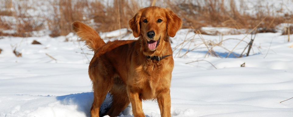 Golden retriever utomhus vinter