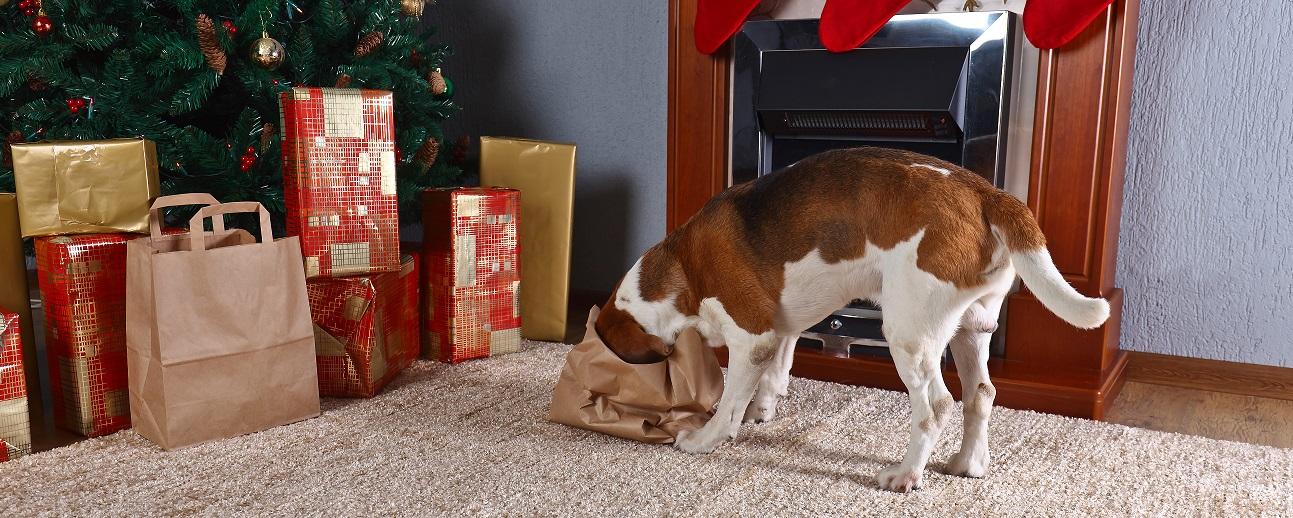 Beagle letar efter julgodis i en papperspåse