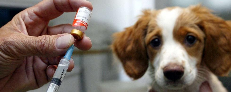 Valp väntar på att bli vaccinerad hos veterinär