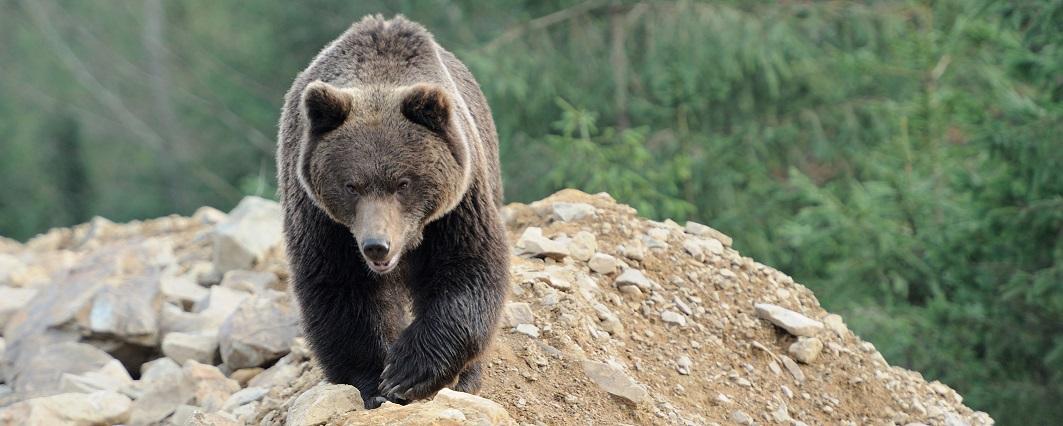 Brun björn går på en klippa