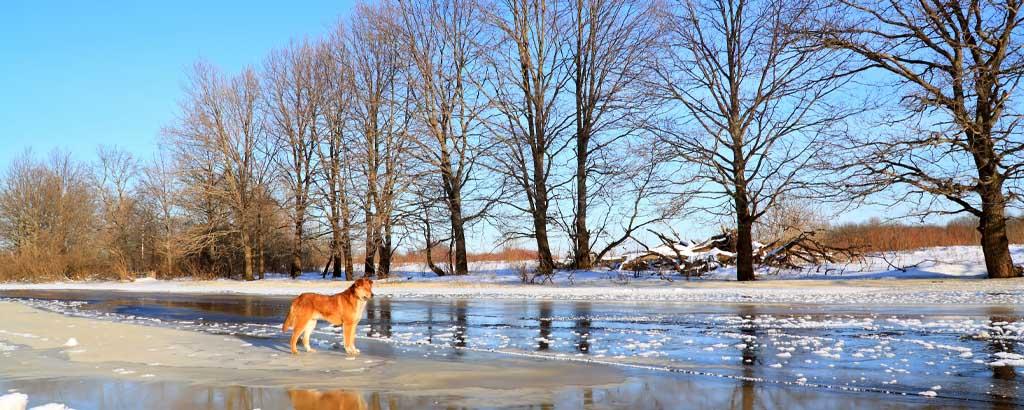 Simmade genom is for att radda hund